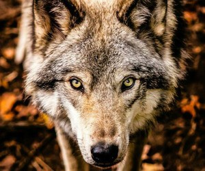 eyes, forest, and wolf image