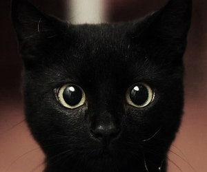 fluffy, black, and cat image