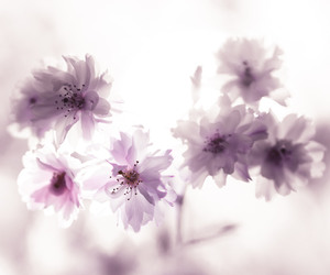 blooms, dreamy, and flowers image