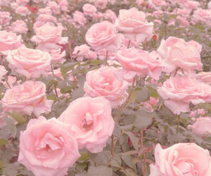 pink, flowers, and rose image