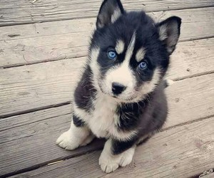 husky, dog, and puppy image