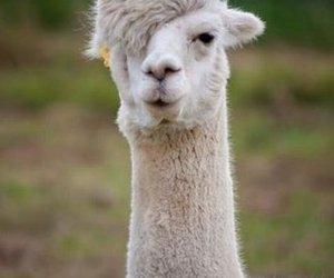 animal, llama, and alpaca image