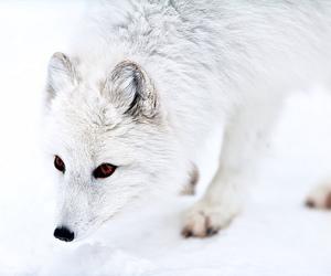 animals, fox, and montreal image