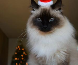 christmas, santa hat, and cat image