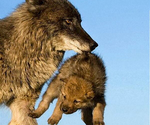 cute and wolf image