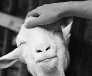 goat, smile, and cute image