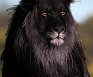 animals, black, and lion image