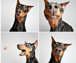 dog, cute, and doberman image