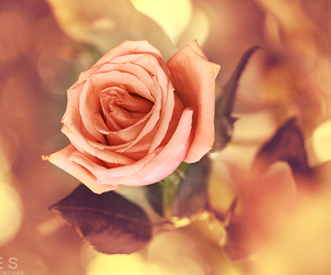 flowers, soft, and rose image