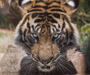 animal, tiger, and beautiful image