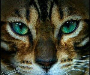 cat, beautiful, and eyes image