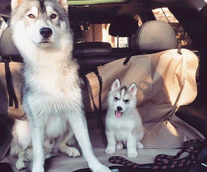 dog, husky, and cute image