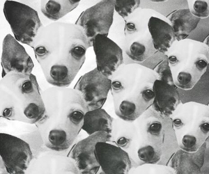 background, chihuahua, and dog image