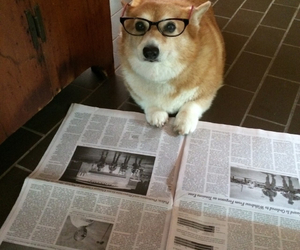 animals, corgi, and glasses image