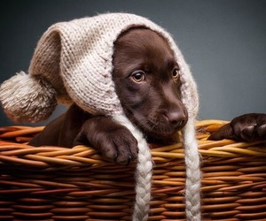 chocolate lab, dog, and funny image