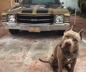 car, dog, and pit bull image