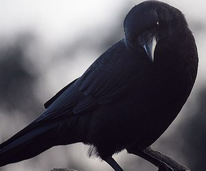 bird, crow, and raven image