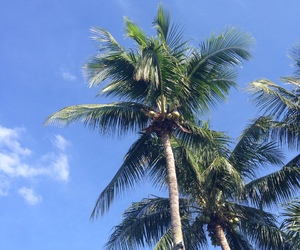 blue, cali, and coconut trees image