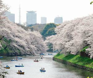 beautiful, japan, and blossom image