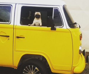 pug, yellow, and cute image