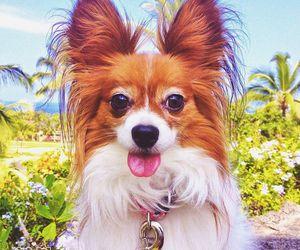 dog and papillon image