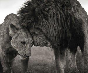 lion, love, and animal image