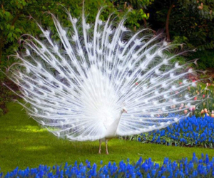 white, peacock, and flowers image