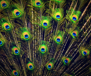 peacock and photography image