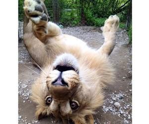 animal, big cat, and lion image