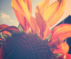 summer and sunflower image
