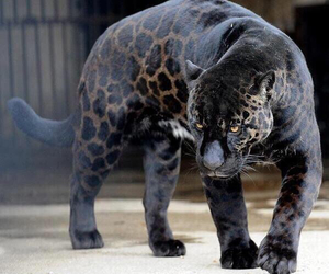 animal, black, and leopard image