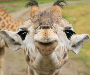 animal, girafa, and giraffe image