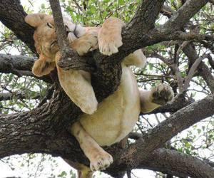 lion, animal, and tree image