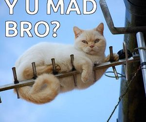 cat meme, funny cats, and u mad bro image