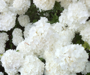 flowers, white, and nature image