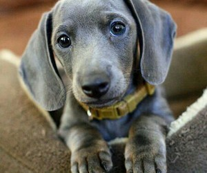 blue, grey, and dachsund image