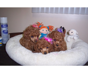 bows, for sale, and puppies image