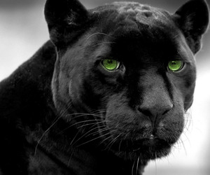 black panther and wild cats image