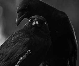 birds, crow, and black and white image