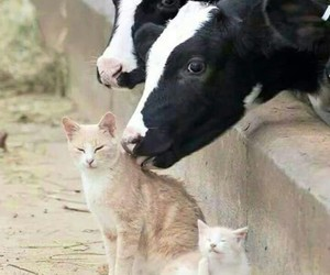 cat, animals, and cow image