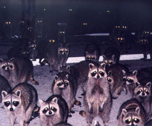 raccoon, animal, and eyes image