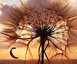dandelion, sunset, and flowers image
