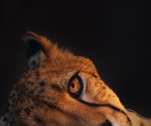 animals and cheetah image