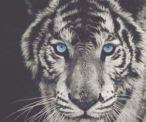blue eyes, tiger, and animalist image