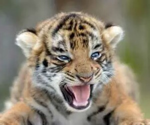 tiger, cute, and baby image