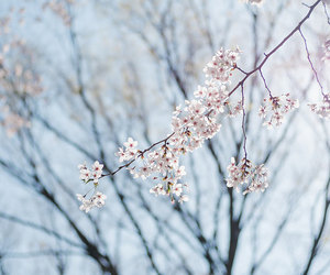 cherry blossoms and japan image