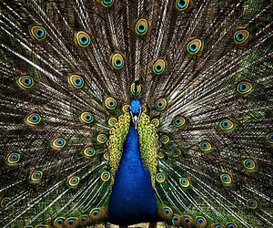 peacock, birds, and colours image