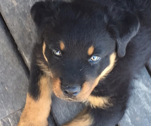 puppy, rottweiler, and love image