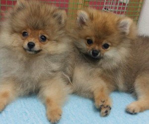dogs, pets, and pomeranian image