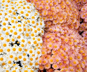 flowers, pink, and daisy image